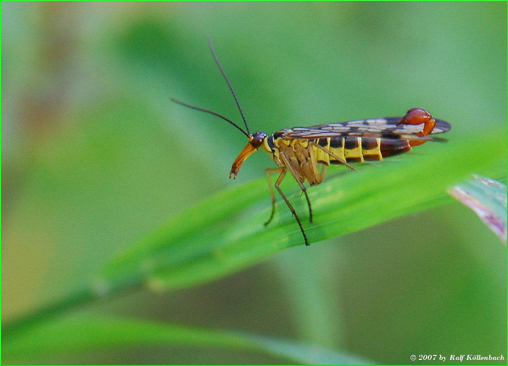 Scorpioniege